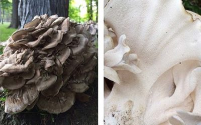 Grifola frondosa aka Hen of the Woods or Maitake