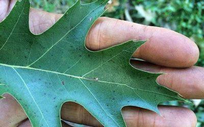 Quercus spp. Oak trees.